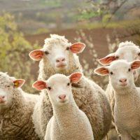 Субвенције пољопривредницима за набавку јуница и оваца